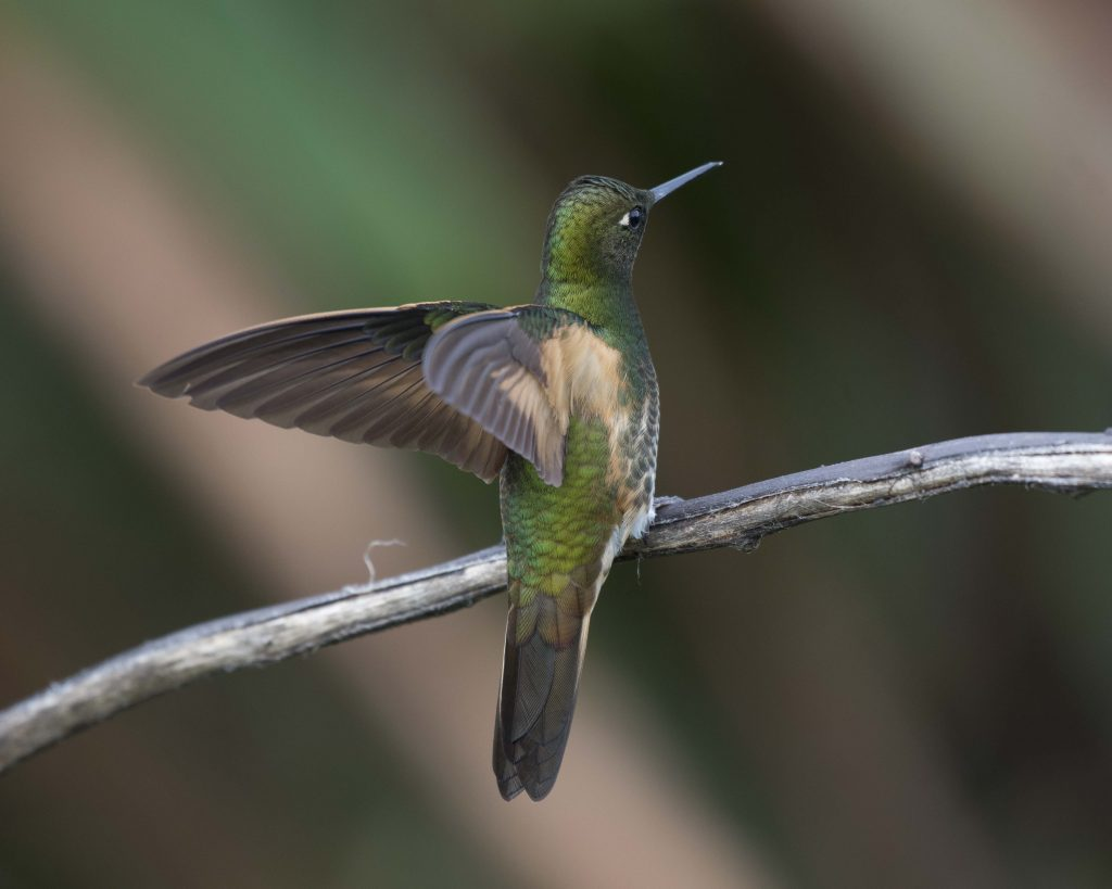 Bird of the Day - Buff-tailed Coronet