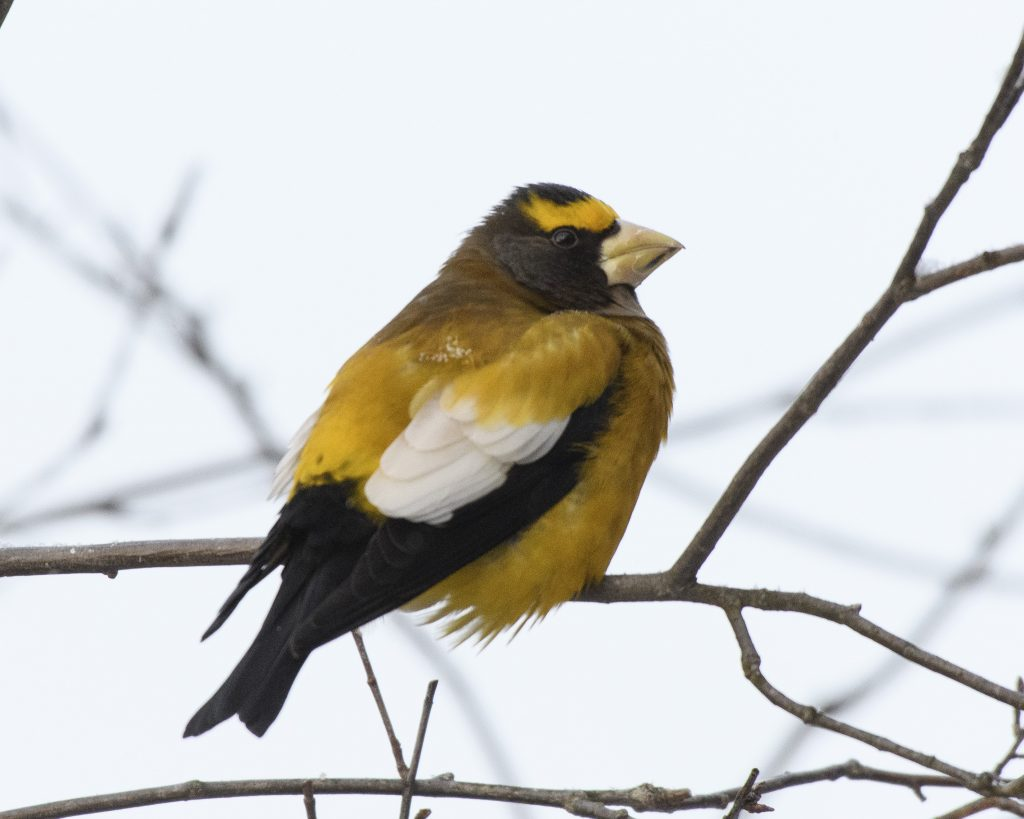 Bird of the Day - Evening Grosbeak