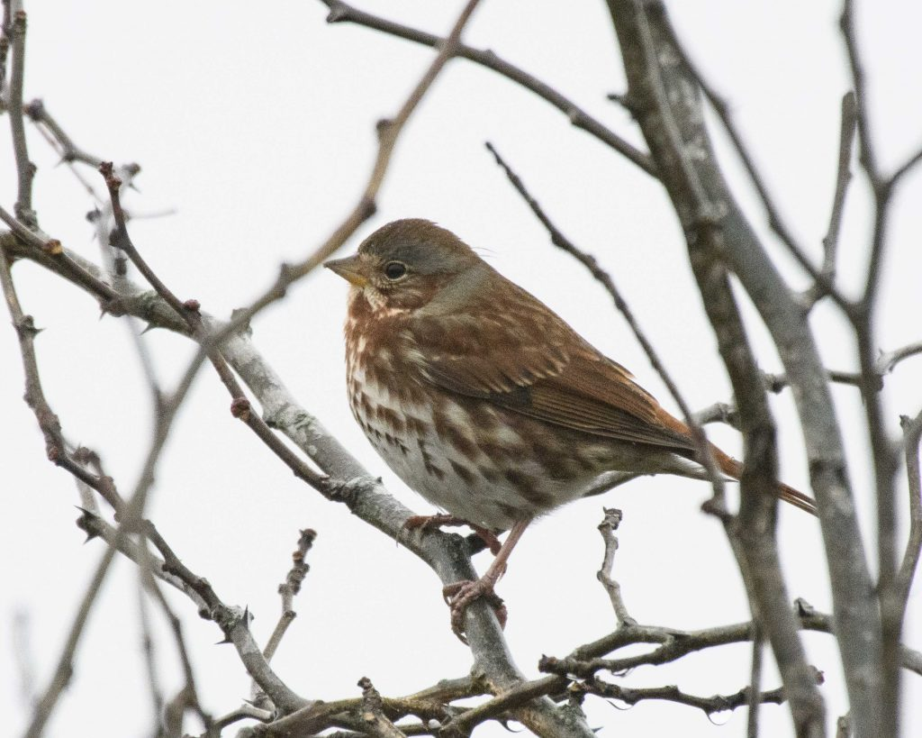 Bird of the Day - Fox Sparrow