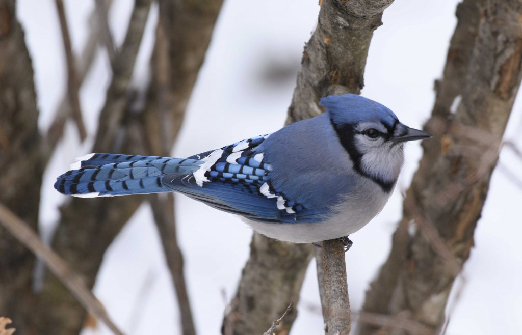Bird of the Day - Blue Jay