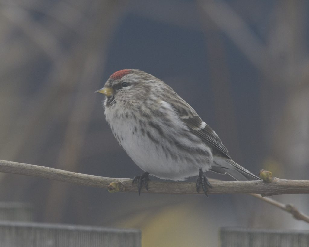 Bird of the Day - Common Redpoll