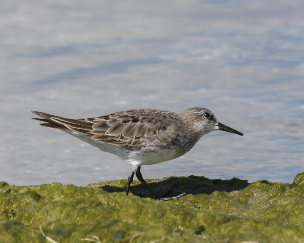 Bird of the Day - White-rumped Sandpiper